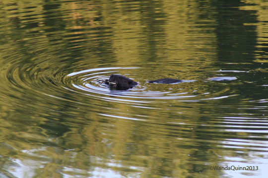 image of beaver in water, chewing on stick