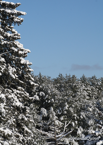 image of clear blue sky and trees with snow