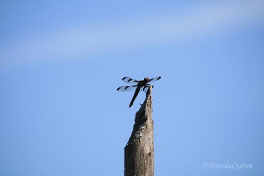 IMG_0853_dragonfly