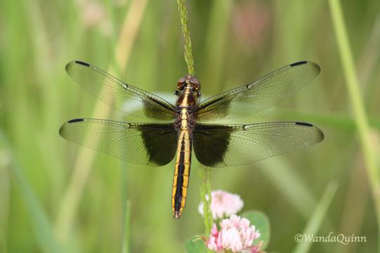 IMG_4152_dragonfly