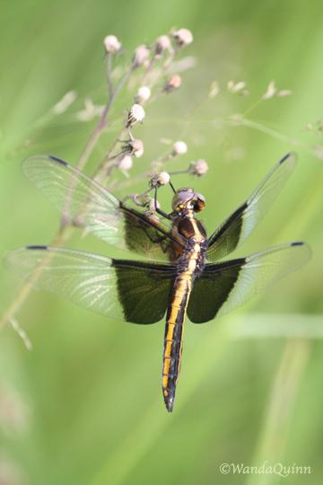 IMG_4185_dragonfly