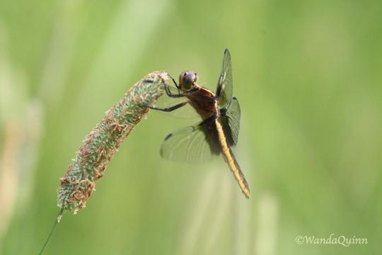 IMG_4200_dragonfly