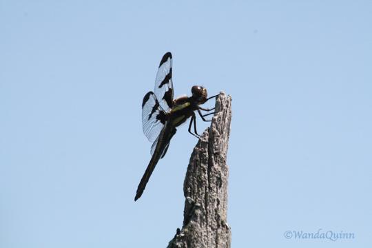 IMG_4537_dragonfly