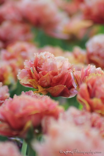tulip_IMG_2383