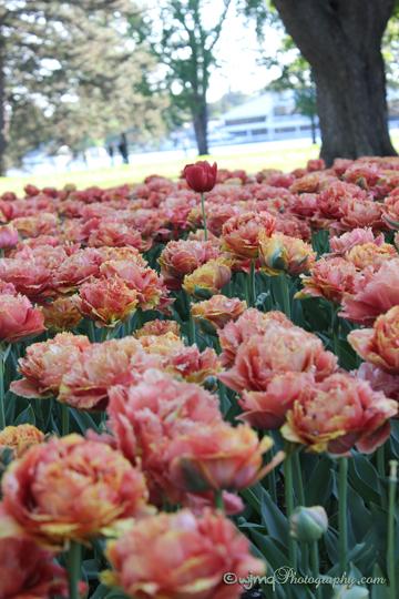 tulip_IMG_2553