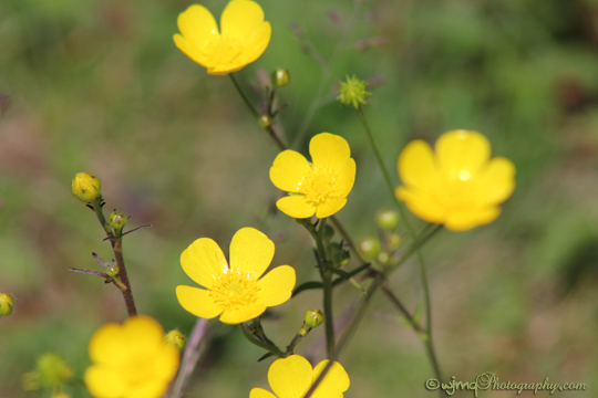 buttercup_IMG_3073