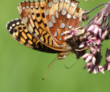 photo of a great spangled fritillary butterfly